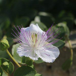 fiore di cappero HD