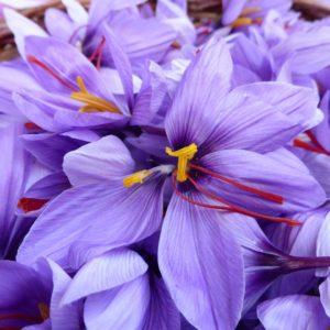 fleurs de safran HD