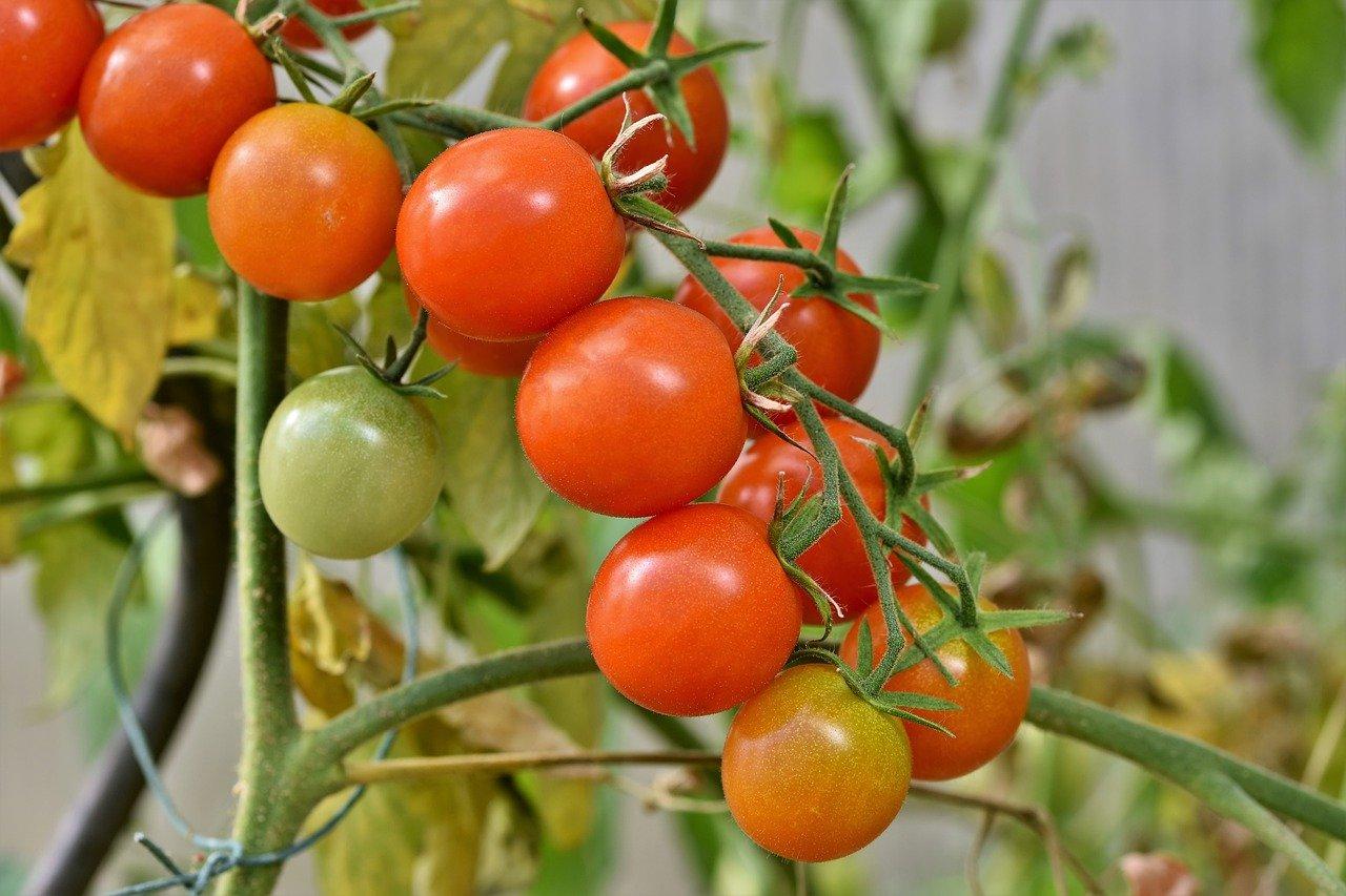 Tomates cerises HD