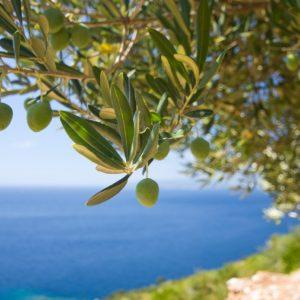 Ulivo al mare in Italia HD